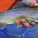 Rainbow trout vs steelhead: The best way to tell the difference