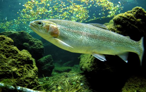 Image of a trout that clarifies how to catch a rainbow trout