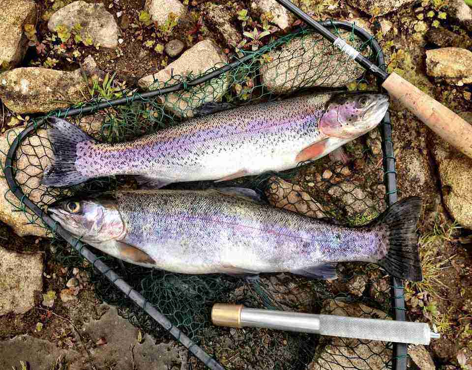 two freshly caught rainbow trout in a net with a knife next to them